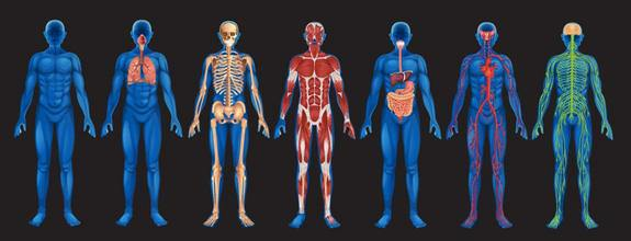 5th grade body systems | mr. sillman's tech blog, Human Body